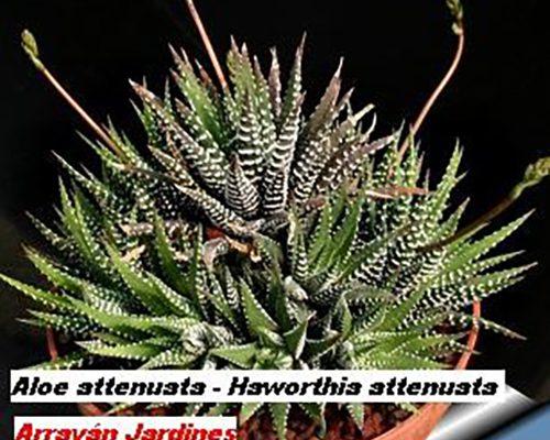 Aloe attenuata
