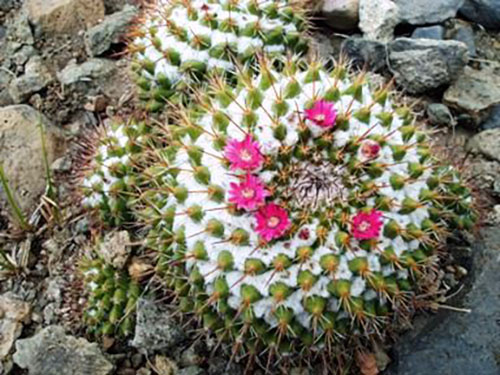 Top Ten de los Cactus más utilizados en Jardines
