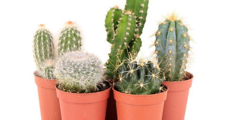 Cómo cuidar los Cactus