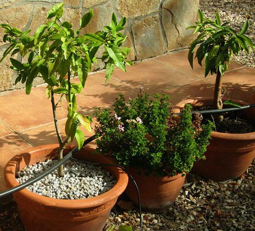Cómo cultivar un limonero en maceta