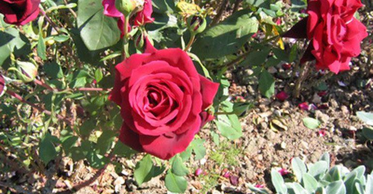 La Primavera: Época ideal para la plantación de rosas